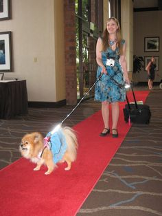 PepperPom walks the red carpet at the #blogpawty. Luv her blinking collar and leash!  © Emmy Scammahorn