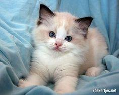 Ragdoll Kittens | Tweedehands te koop: Exccellent Ragdoll kittens