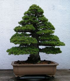 RK:Unidentified tree at National Bonsai & Penjing Museum | Flickr - Photo Sharing!