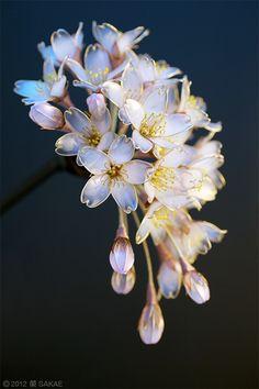 """Kanzashi"" the Japanese ornamental hairpin by Sakae 榮 - Cherry Blossoms"