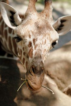 10bullets: Giraffe St. Louis Zoo by Michael McDonough on... - http://fun.leakhunt.com/10bullets-giraffe-st-louis-zoo-by-michael-mcdonough-on/ #andFunny, #bestLOL, #cars, #fineCars, #freeFunny, #Fun, #Funny, #funnyBirthday, #funnyChristmas, #funnyFlash, #funnyFree, #funnyFreeMonologues, #funnyGames, #funnyHalloween, #funnyJokes, #funnyMovies, #funnyNicknames, #funnyPics, #funnyPictures, #funnyPoems, #funnyPumpkin, #funnyPumpkinDesigns, #funnyQuotes, #funnyStuff, #funnyVideo, #