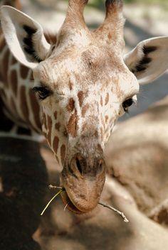 *Giraffe (by Michael McDonough)