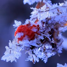Ice Crystal,This red stuff is a fruit of rugosa rose.