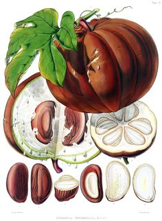 Hodgsonia heteroclita - circa 1855 - Fruit inedible - grown for oil-rich seeds.