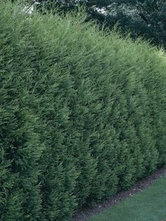 Fast-growing trees: Leland Cypress --> http://www.hgtvgardens.com/trees/fast-growing-trees?s=2&soc=pinterest