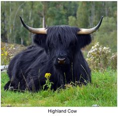 The Happy Cottage Scottish Highland Cow, Highland Cattle, Scottish Highlands, Cute Baby Animals, Farm Animals, Animals And Pets, Black Animals, Cow Pictures, Animal Pictures
