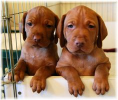 sweet Vizsla babies! Not for the faint of heart. A Vizsla requires daily energetic exercise.