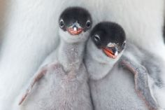 Two Newly Hatched Gentoo Penguin Chicks Getting Their First Glimpse at the Outside World. Port Lockroy, Antaractica by Richard Sidey, smithsonianmag #Penguin