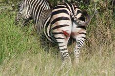 Injured zebra. perhaps a lucky escape?