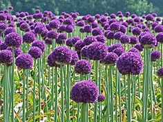 """Don't they look a bit like Dr. Seuss-anized dandelions? They are actually a member of the genus Allium, along with the onion family, including onions, garlic, shallots, and leeks. The bulb of Allium giganteum (A. giganteum) is commonly known as the edible """"Giant Onion,"""" and the blossoms are these beautiful pink and purple balls"""