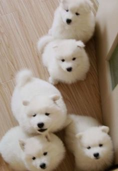 Samoyed puppies. I love them!!!  They look like little polar bears when they are pups.