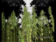 Cannabis is a powerful plant, and it's not just about getting high. It is also a powerful source to create materials such as paper, clothes and oil. Also, because of the THC it cures various diseases such as cancer and rheumatism! Sounds like a good reason to make it illegal for the elite's protection. We must reclaim the freedom to plant our ow...