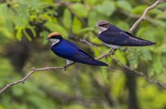 Wire tailed swallows