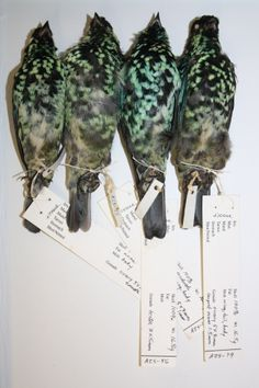 Four Speckled Birds, photo by M. Wheelock, 2014