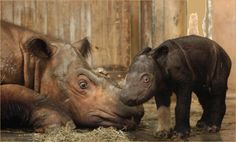 Devastating news for Sumatran rhino as Suci dies at Cincinnati Zoo