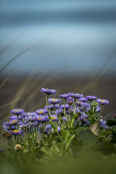 Sea Aster - Sandsend, Yorkshire - by icypics flickr (also pinterest)