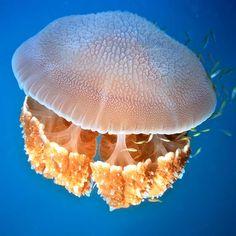 Medusa - Filo Cnidaria
