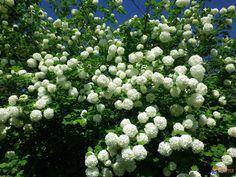 boule de neige  ! ( viburnum opulus  roseum   )