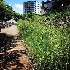 旧中の川遊歩道雑草(_;)で大変な事になってます  #宮の沢 #宮の沢駅 #札幌
