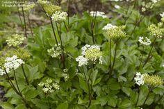 Ligusticum scoticum Fungi, Scotch, Perennials, Flora, Seeds, Garden, Plants, Beautiful, Bonito