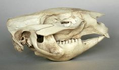 Wombat skull lateral view