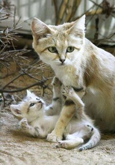 Love this pic of a sand cat with her kitten…
