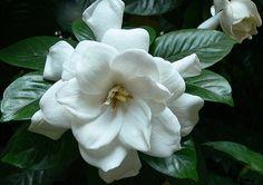 wikiHow to Care for a Gardenia -- via wikiHow.com
