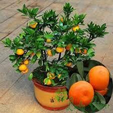 Znalezione obrazy dla zapytania bonsai owoce