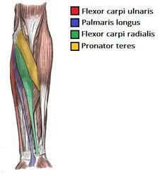 Resultado de imagen para forearm muscles
