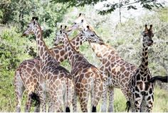 Giraffes in Mburo