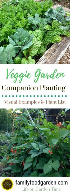 Grow a veggie garden that includes companion planting for beauty and purpose. Here are some veggie garden companion planting examples and companion plantings plant lists. Visual veggie garden beds to show you the plants growing together.