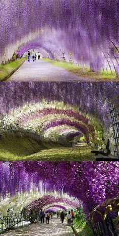 Amazing Wisteria Flower Tunnel in Japan.