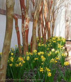 Tone on Tone: Our Early Spring Garden; Crepe Myrtle trunks.