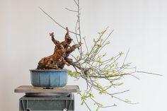 Making a big cut on an ume #bonsai