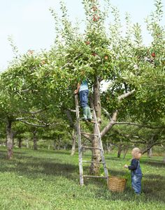 Apple Picking in a NYS Orchard -trees weren't dwarf then so there was a special pointed ladder that leaned into the tree and we picked into our bushel baskets