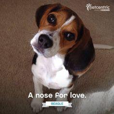 Love beagle