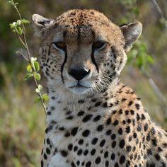 """Anotherbeautifulcheetahsightingat#namiriplains#almaty#almatykz#brisb"" by samanthavaneldik! Find more inspiring images at ViewBug - the world's most rewarding photo community. http://www.viewbug.com/photo/59335235"