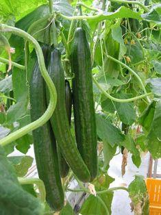 Κολοκυνθοειδή: Αγγούρι, Κολοκυθάκι, Καρπούζι, Πεπόνι Container Gardening Vegetables, Vegetable Garden, Trees To Plant, Cucumber, Seeds, Landscape, Flowers, Outdoor, Parks