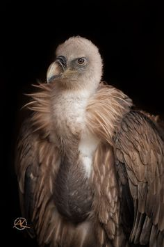 Willi the Vulture by Andreas Krappweis / 500px