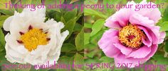 Cricket Hill Garden - Peony Heaven. A specialty plant nursery located in USDA zone 6, Connecticut. Rare & unusual peonies, perennial landscape edibles, fruit trees, berries. Growing for 26 years.