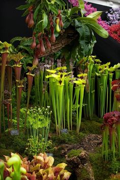 A beautiful collection of carnivorous plants in a rocj garden