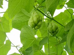 Chayote/ Vegetable pear/ Sechium Edule: I've got an aggressive vine growing now from a Chayote I bought at the fresh market. Digging around, I found you can eat the leaves and shoots, as well as the fruit. Vine control!
