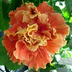 "Hibiscus - 'Magic Moments'  Its 8-10"" well-formed double blooms open in a dark orange color that changes to golden brown tones as the flower is exposed to sunlight and heat. Photo Source:  hiddenvalleynaturearts.com"