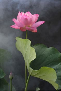 The lotus grows out of the mud, through the water, and ascends into the open air, a symbol of enlightenment.