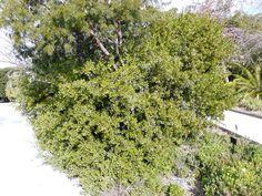 Rhus Undulata            Kuni-bush       Koeniebos           5 m        S A no 389