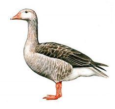www.pripravy.estranky.cz - PRVOUKA - TAŽNÍ PTÁCI Bird, School, Animals, Africa, Animales, Animaux, Birds, Animal, Animais