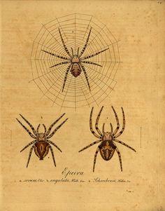 Spider Illustration