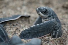 Leatherback Turtle Hatchling, Grande Riviére, Trinidad