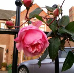 The Wedgwood rose in winter