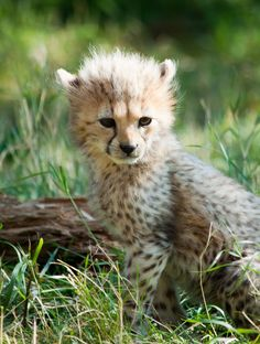 Cheetah Cub (by CMGW Photography)